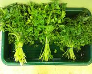 Bunched Flat Leaf Parsley